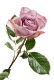 Lavendel farbige Rose auf weißem Hintergrund Stockfoto