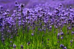Lavendel-Feld Stockbild