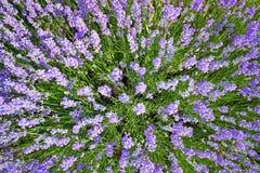 Lavendel-Feld stockfoto