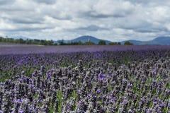 Lavendel-Feld lizenzfreies stockbild