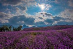 Lavendel-Feld in der Hintergrundbeleuchtung Lizenzfreies Stockfoto