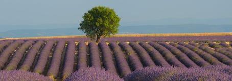 Lavendel-Feld-Panorama Stockfotografie