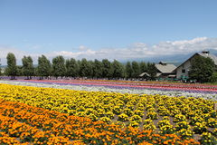 Lavendel-Feld, Tomita-Bauernhof, Japan stockfotos