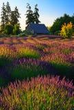 Lavendel-Feld, Washington State Lizenzfreie Stockfotos