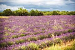 Lavendel-Felder stockbild