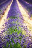 Lavendel-Felder lizenzfreies stockfoto