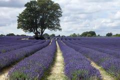 Lavendel-Felder Stockfoto