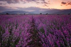 Lavendel-Felder Ausgezeichnetes Bild des Lavendelfeldes Sommersonnenunterganglandschaft, kontrastierende Farben Dunkle Wolken, dr stockbilder