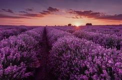 Lavendel-Felder Schönes Bild des Lavendelfeldes Sommersonnenunterganglandschaft, kontrastierende Farben stockbild