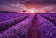 Lavendel-Felder Sch?nes Bild des Lavendelfeldes Sommersonnenunterganglandschaft, kontrastierende Farben lizenzfreie stockfotografie