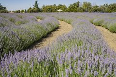 Lavendel-Festival bei Bauernhof 123 Lizenzfreies Stockfoto