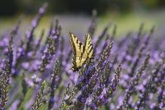 Lavendel-Festival bei Bauernhof 123 Stockfotografie