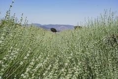 Lavendel-Festival bei Bauernhof 123 Lizenzfreie Stockfotos