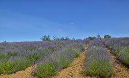 Lavendel Field-5 stockbilder