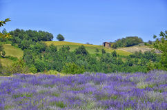 Lavendel Field-7 stockfotografie