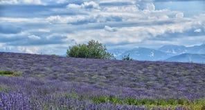 Lavendel Field-9 lizenzfreies stockfoto