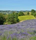 Lavendel Field-11 stockfoto
