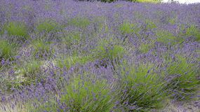 Lavendel field at  Eden Project in Cornwall Royalty Free Stock Image