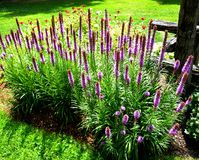 Lavendel-Flecken Lizenzfreie Stockfotografie