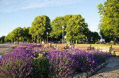 Lavendel flowers. In a park with benches Stock Photo
