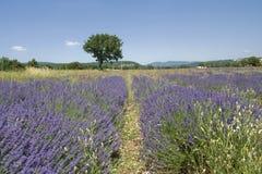 Lavendel in Frankrijk Royalty-vrije Stock Afbeelding