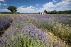 Lavendel in Frankrijk Stock Afbeeldingen