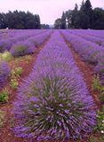 Lavendel Gebieden van Oregon Stock Afbeeldingen