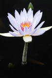 Lavendel gekleurd water Lilly in een zwarte pool van water Royalty-vrije Stock Afbeelding