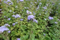 Lavendel-gekleurde bloemen van Ageratum-houstonianum in Juli royalty-vrije stock afbeelding