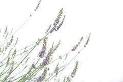 Lavendel getrennt auf Weiß Stockbilder
