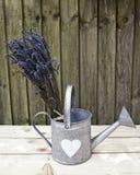 Lavendel in gieter 1 Stock Afbeelding