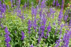 Lavendel growed i gradent Arkivfoton