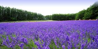 Lavendel Hokkaido Arkivfoton