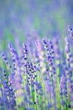 Lavendel i blom arkivbilder