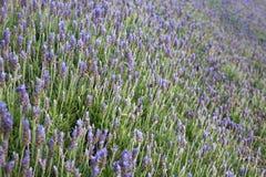 Lavendel i blom Arkivfoton