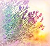Lavendel i defocusen (ut fokusen) Arkivfoton