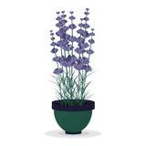 Lavendel i en kruka som isoleras på vit bakgrund royaltyfri illustrationer
