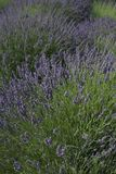 Lavendel i ett fält Royaltyfri Foto