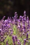 Lavendel i ett fält Arkivfoton