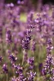 Lavendel i ett fält Royaltyfri Fotografi