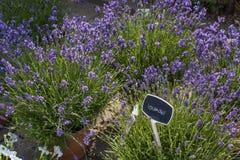 Lavendel i krukor Arkivfoton
