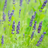 Lavendel i natur Royaltyfria Bilder