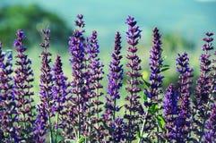 Lavendel i Provence Arkivbild