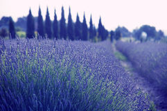 Lavendel i Provence Arkivbilder