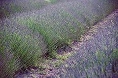 Lavendel i Provence royaltyfri fotografi