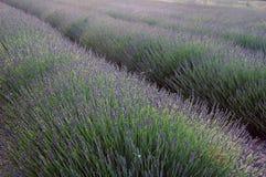 Lavendel i Provence arkivfoto