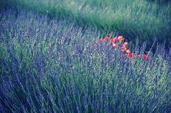 Lavendel i Provence Arkivfoton