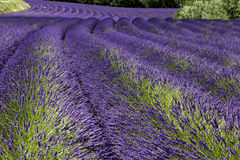 Lavendel i Provence Frankrike Royaltyfria Bilder