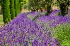 Lavendel i rad och olivträd Royaltyfria Bilder