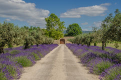 Lavendel i rad och olivträd Royaltyfri Fotografi